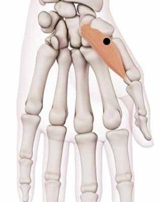 Thumb-Palm- Anatomy-Muscle